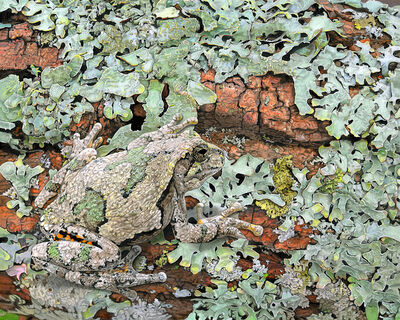 Rick Pas, 'Gray Treefrog on Lichens (4)', 2019