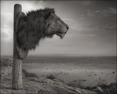 Nick Brandt, 'Lion Trophy, Chyulu Hills, Kenya', 2012