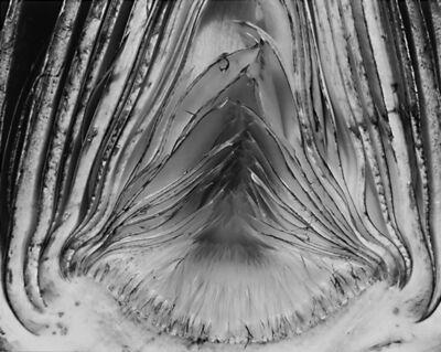 Edward Weston, 'Artichoke Halved', 1930