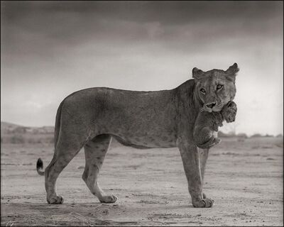 Nick Brandt, 'Lioness Holding Cub in Mouth, Masai Mara', 2012