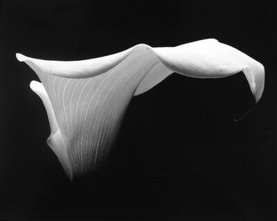 Rod Dresser, 'Single Calla III', 2001