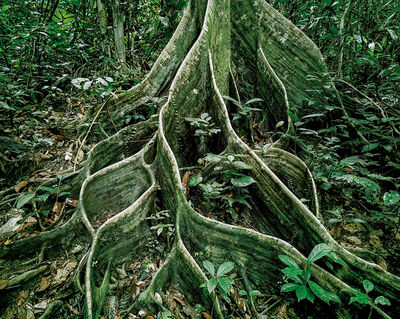 Olaf Otto Becker, 'Primary Forest 18, Roots, Malaysia 10/2012', 2012