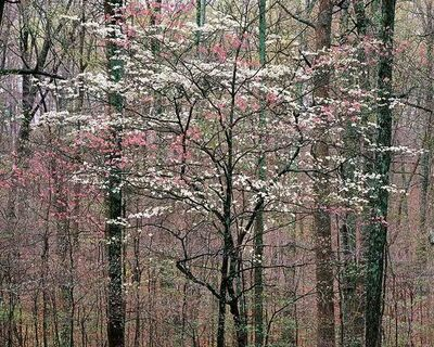Christopher Burkett, 'Pink and White Dogwoods, Kentucky', 1991