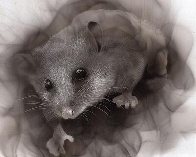 Steven Spazuk, 'Pygmy Possum', 2020