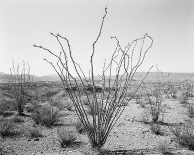 Jack Ridley, 'Ocotillo, Glenn Draw, Big Bend', 2012