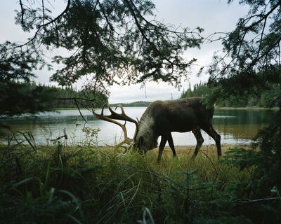 Eamon Mac Mahon, 'Woodland Caribou 2, Slate Islands', 2011