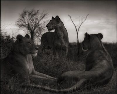 Nick Brandt, 'Lion Circle, Serengeti, 2012', 2012