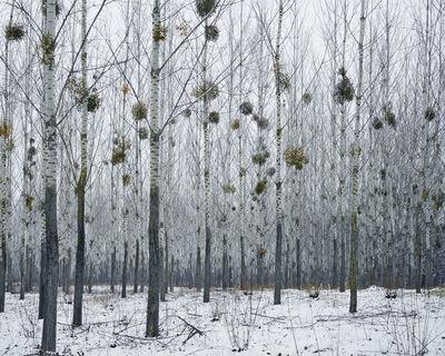 Tamas Dezso, 'Forest with Mistletoe (near Oradea)', 2014