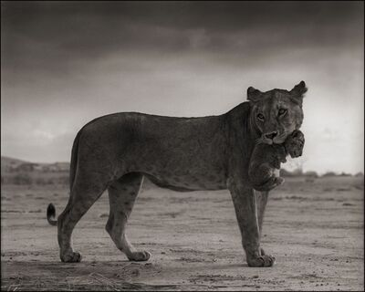 Nick Brandt, 'Lioness Holding Cub in Mouth, Amboseli 2012', 2012