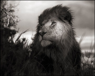 Nick Brandt, 'Lion in Shaft of Light, Maasai Mara', 2012