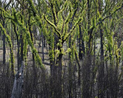 Gideon Mendel, 'NEW GROWTH AFTER THE FIRES, Genoa, Victoria', 2020