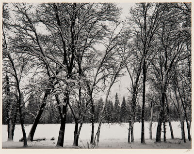 Ansel Adams, 'Young Oaks, Winter', c. 1938-printed later