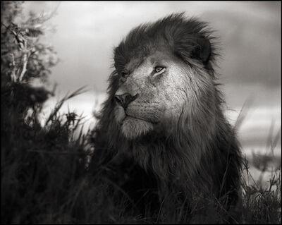 Nick Brandt, 'Lion in Shaft of Light', 2012