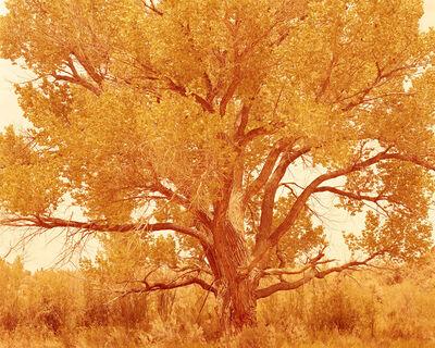 David Benjamin Sherry, 'Cottonwood Tree I, Summer, Bears Ears National Monument, Utah', 2017