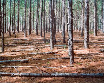 Adam Neese, 'Stand of Pines', 2014