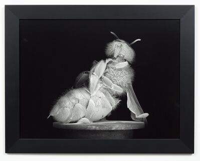 Anne Noble, 'Dead Bee Portrait #6', 2015