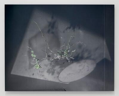 Kate Greene, 'Scindapus pictus (silver vine)', 2017