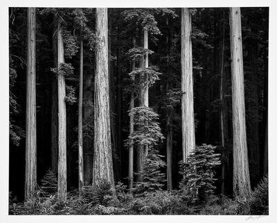 Ansel Adams, 'Redwoods, Bull Creek Flat, Northern California', 1960