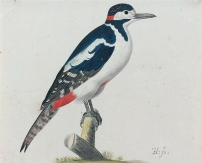 Pieter Holsteyn, the younger, 'Great Spotted Woodpecker', ca. 1640
