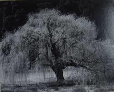 Edward Weston, 'Willow Tree', 1936