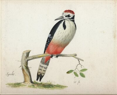 Pieter Holsteyn, the younger, 'A Young Male Great Spotted Woodpecker', ca. 1640