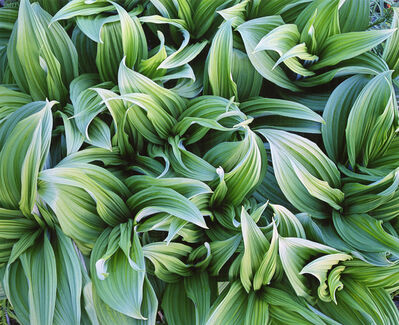 Christopher Burkett, 'Green Veratrum, Alaska', 1993