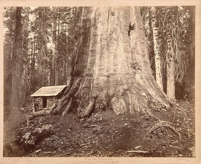Eadweard Muybridge, 'Wm. H Seward, 85 Feet in Circumference. Mariposa Grove of Mammoth Trees, No. 51', 1872