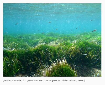 Rachel Sussman, 'Posidonia Oceania Sea Grass #0910-0735 (100,000 years old; Balearic Islands, Spain)', 2010
