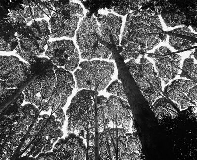 Stuart Franklin, 'Crown Shyness, Kepong Forest Reserve, Malaysia', 1996