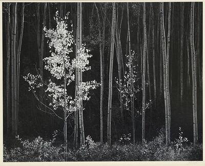 Ansel Adams, 'Aspens, Northern New Mexico', 1958