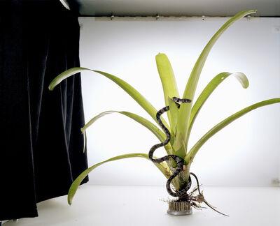 Sanna Kannisto, 'Sibon nebulatus', 2003/2006
