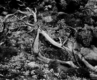 Brett Weston, 'Untitled (Tree Roots with Succulents)', 1955