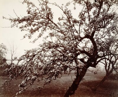 Eugène Atget, 'Poirier en fleurs [Pear tree in bloom]', 1922