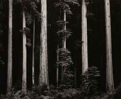 Ansel Adams, 'Northern California Coast Redwoods', 1960