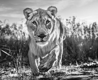 David Yarrow, 'Intent', 2020