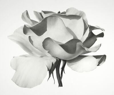 Jonathan Delafield Cook, 'Rose I ', 2021