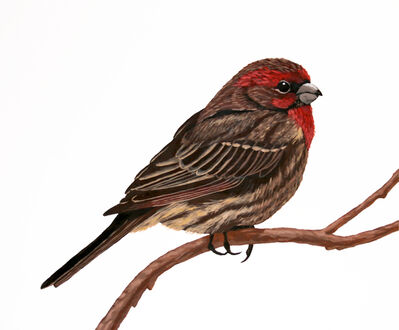 Mark Knudsen, 'House Finch', 2019