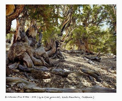 Rachel Sussman, 'Bristlecone Pine #0906-3033 (Up to 5,000 years old; White Mountains, California)', 2006