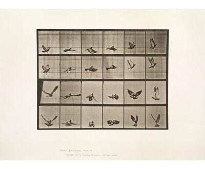 Eadweard Muybridge, 'Animal Locomotion, Plate 757 (Pigeon Flying)', 1887
