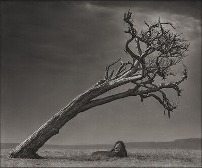 Nick Brandt, 'Lion Under Leaning Tree, Maasai Mara', 2008