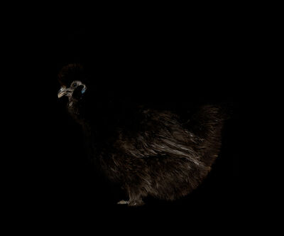 Netta Laufer, 'Rooster - from the Black Beauty series', 2012-2016