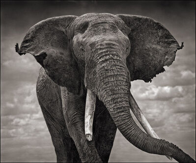 Nick Brandt, 'Elephant with Tattered Ears, Amboseli', 2008