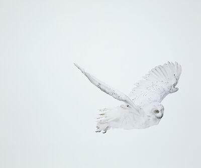 Andrew Zuckerman, 'Snowy Owl 32', 2008