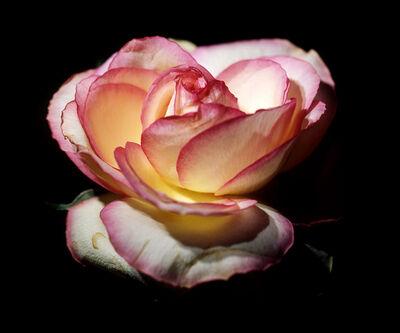 Ani Çelik Arevyan, 'Rose #1', 2005