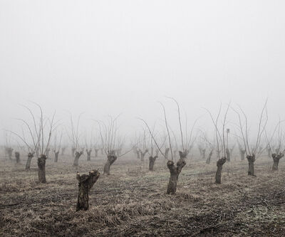 Tamas Dezso, 'Locust Trees (North-East Hungary, 2011)', 2011