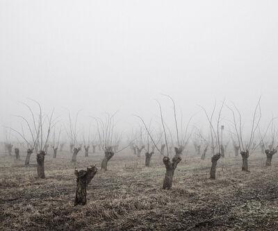 Tamas Dezso, 'Locust Trees (North-East Hungary, 2011)', 2011