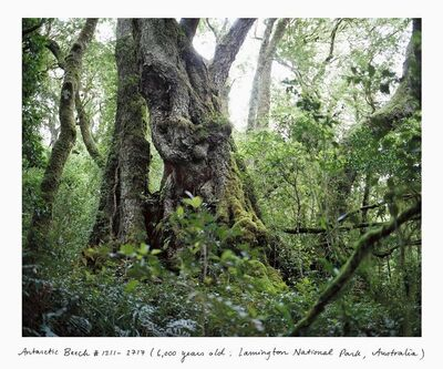 Rachel Sussman, 'Antarctic Beech #1211-2717 (6,000 years old; Lamington National Park, Queensland, Australia)', 2011