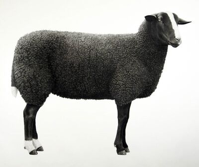 Jonathan Delafield Cook, 'Zwartbles Sheep ', 2019