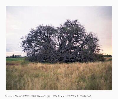 Rachel Sussman, 'Glencoe Baobab #0707-3307 (2,000 years old; Limpopo Province, South Africa)', 2007
