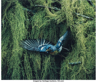 Eliot Porter, 'Northern Parula Warbler, Male, Flying, Great Spruce Head Island, Maine, June 22', 1968